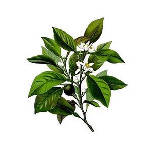 Petitgrain Essential Oil (Citrus aurantium)